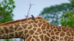 net giraffe