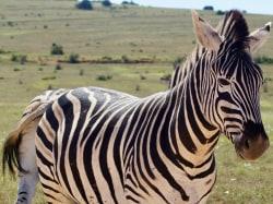 zebra szalai