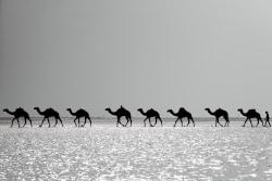 Danakil-camels-meinewelt-reisen