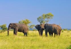 Elephants_kruger