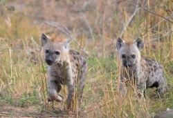 Hyenas puppies_SA-Experience.jpg