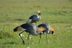 Kenya-Experience_crowned crane.JPG