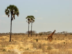 giraffe-selous-tag3