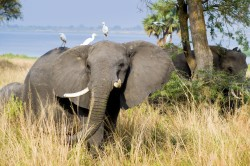 elephant- kidepo valley
