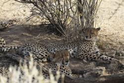cheetah im Schatten meinewelt-reisen