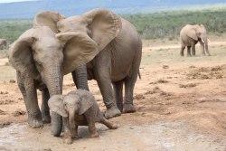 elephant-family-addo-elephant-park-meinewelt-reisen.jpg