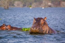 hippos-naivasha meinewelt-reisen
