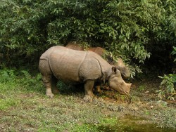 nashorn chitwan nationalpark