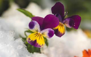 פרח אמנון ותמר שנשתל בחורף