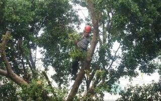 כריתת עצים בעץ גדול