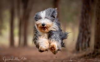 כלב קופץ במסגרת אילוף