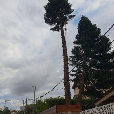 עץ אאירוקה בגבה לכ-10 מ
