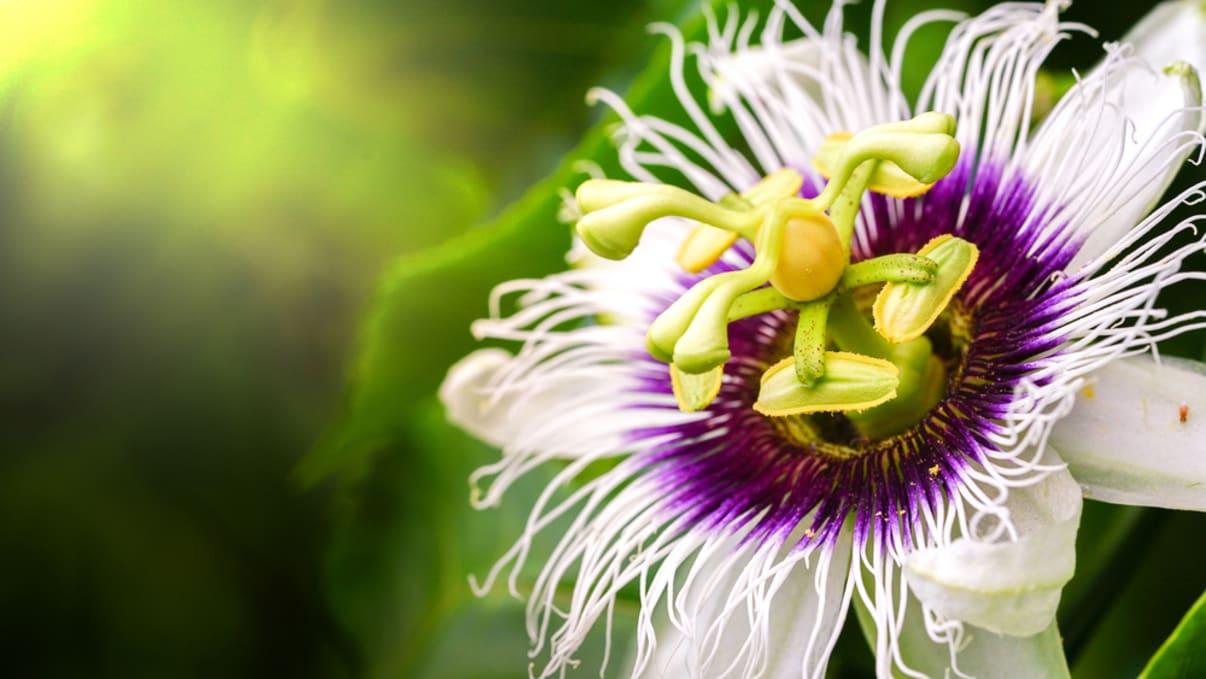 פרח של צמח פסיפלורה