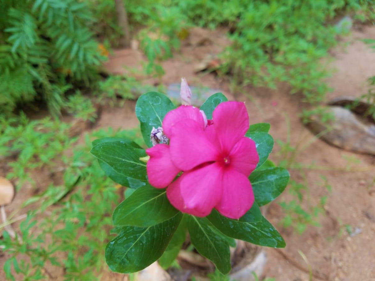וינקה - הפרח שהכי מומלץ לשתול בקיץ