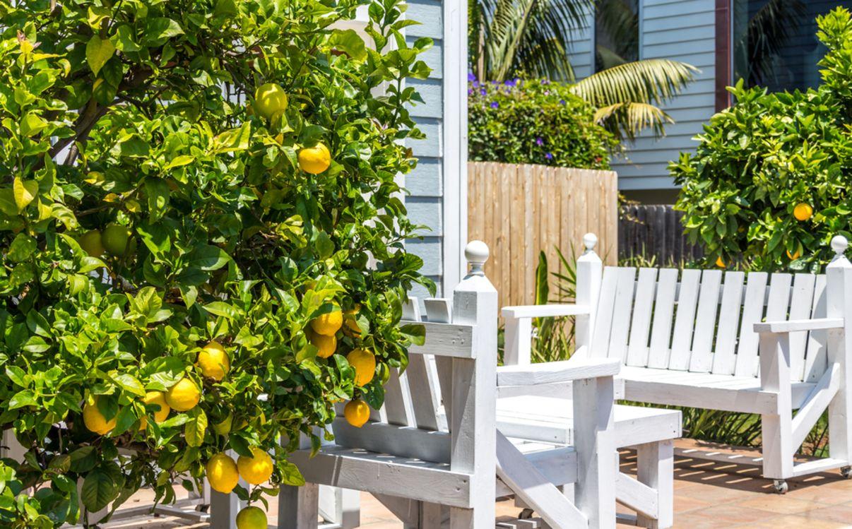 עץ לימון בחצר הבית