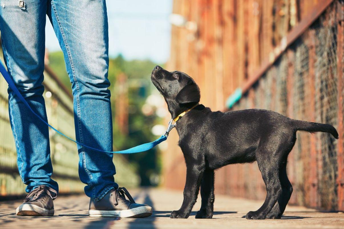 אילוף גורים | כלב עם רצועה