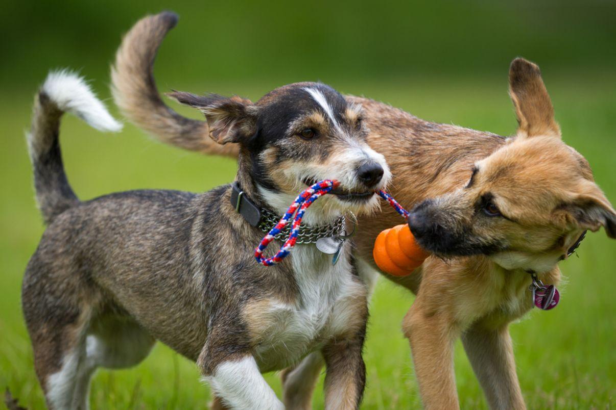 אילוף כלבים | כלבים משחקים