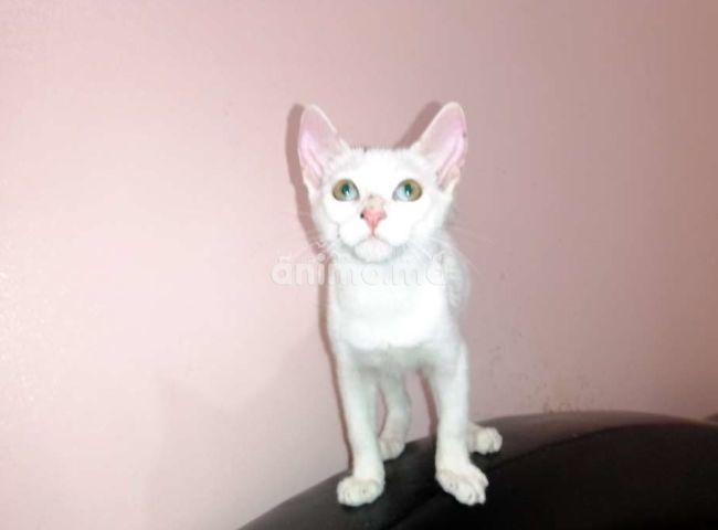 Animo - قطة من نوع انجورا