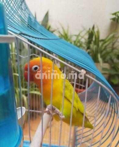 Animo - Insiparable a vendre avec son cage