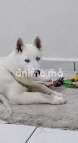 Animo - Chien husky femelle