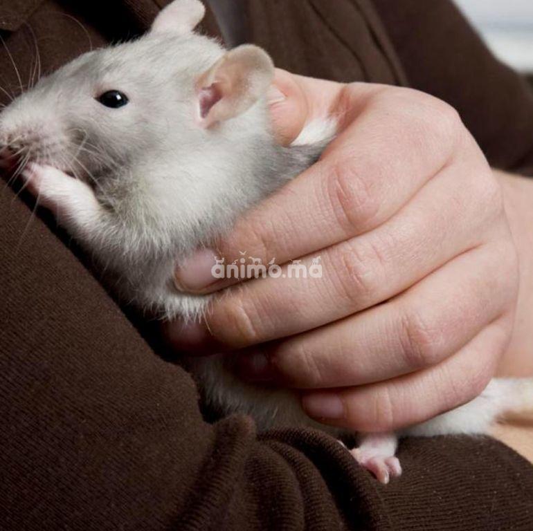 Animo - Conseils sur la baignade de votre rat de compagnie