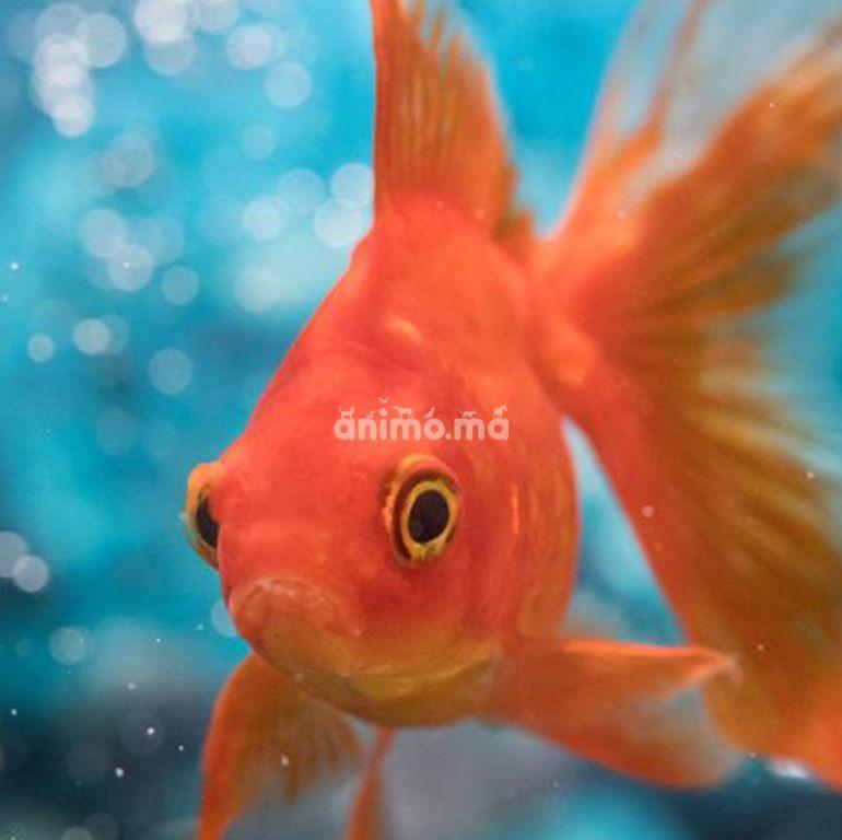 Animo - Conseils pour garder un poisson rouge en bonne santé