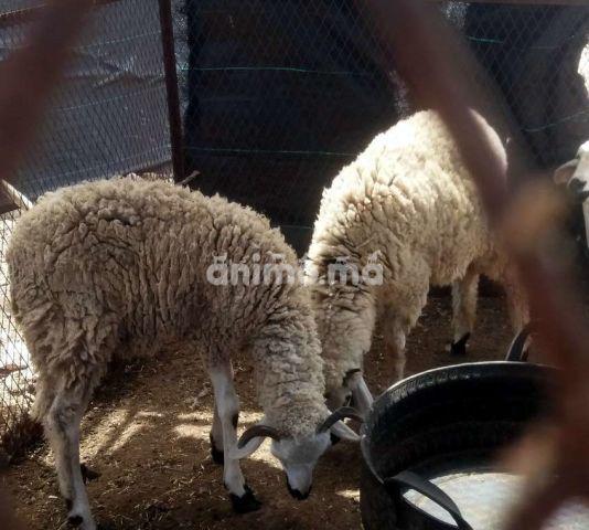 Animo - خروف عمر سنة للبيع