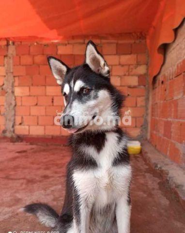 Animo - husky sibérien 5 mois
