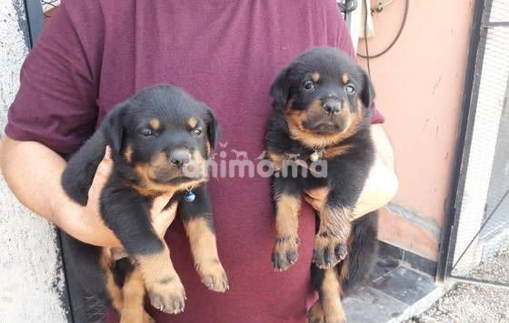Animo - Chiot A Vendre Rottweiler