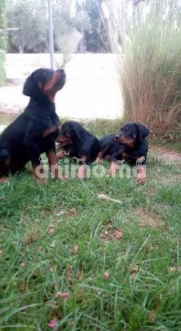 Animo - Chiots rottweiler 4 mois