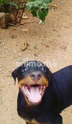 Animo Ma Rottweiler A Vendre Offre Vendre A Casablanca Dans Chiens