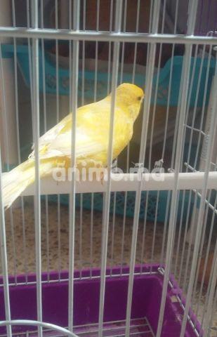 Animo - كناري اصفر عادي