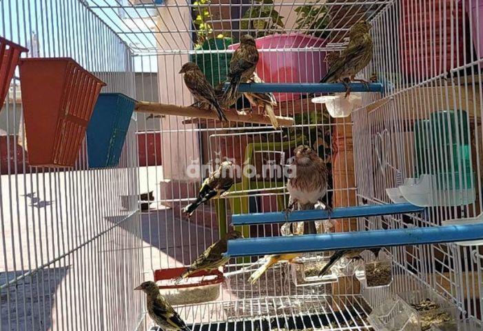 Animo - طيور كناري _طائر تفاحي_ طائر الخضري