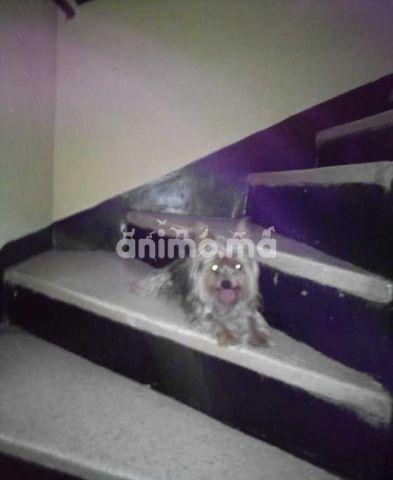 Animo - Vente petit chien Yorkshire