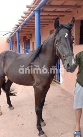 Animo - خيول للبيع