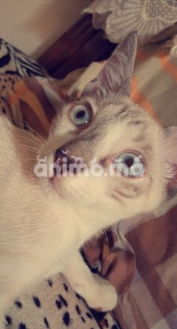 Animo - قط سيامي مدرب في المنزل