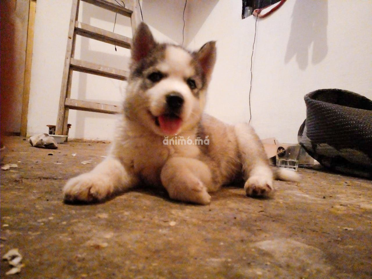 Animo - Petit Haskey a vendre