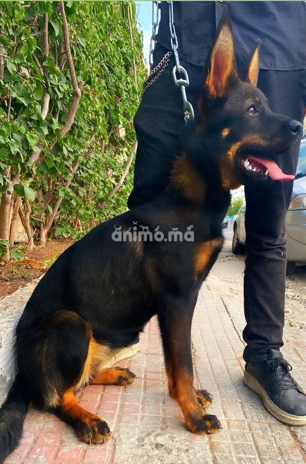 Animo - Femelle Rottweiler-Berger allemand croisée 6mois vaccinée avec son carnet