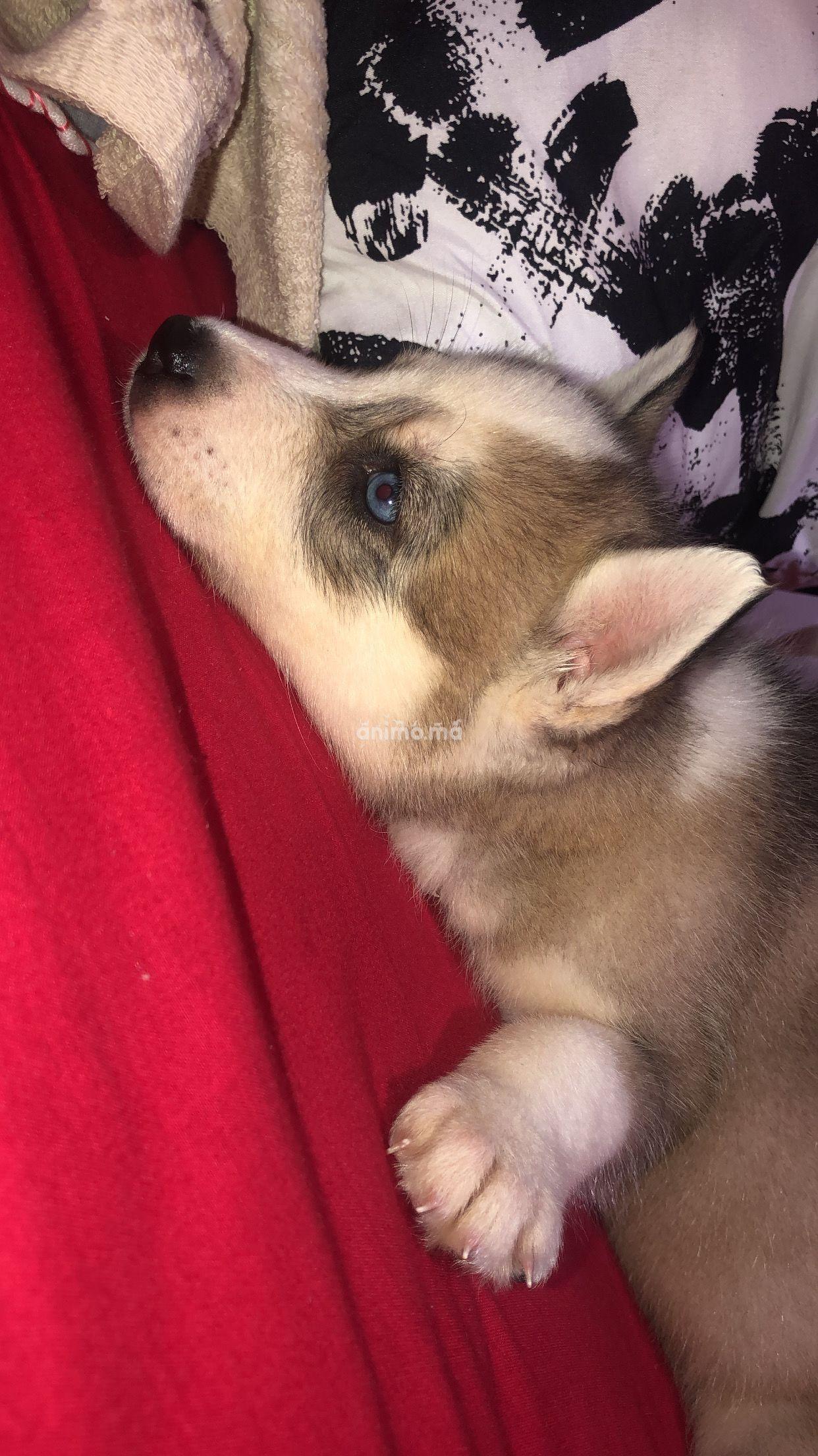 Animo - Husky a vendre male