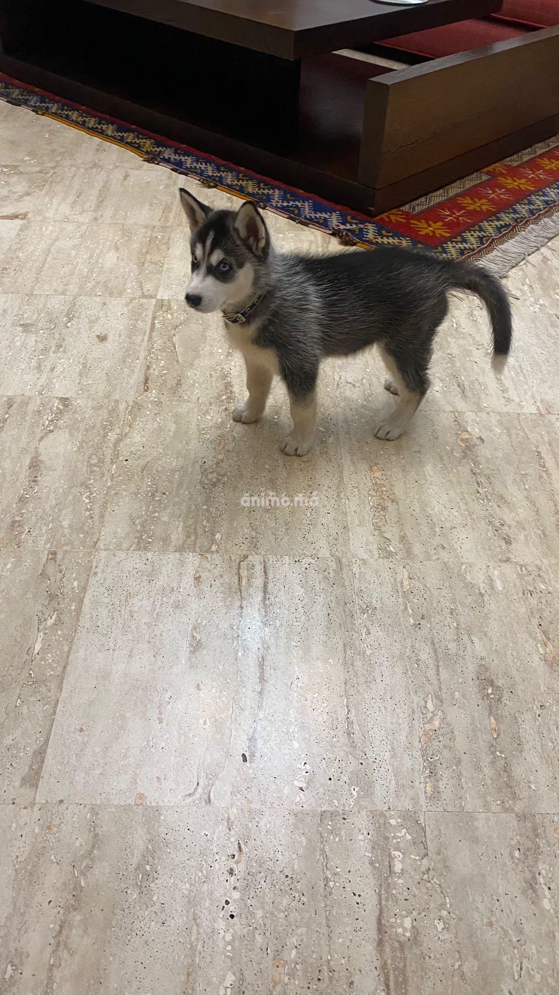 Animo - Vend husky 2 mois