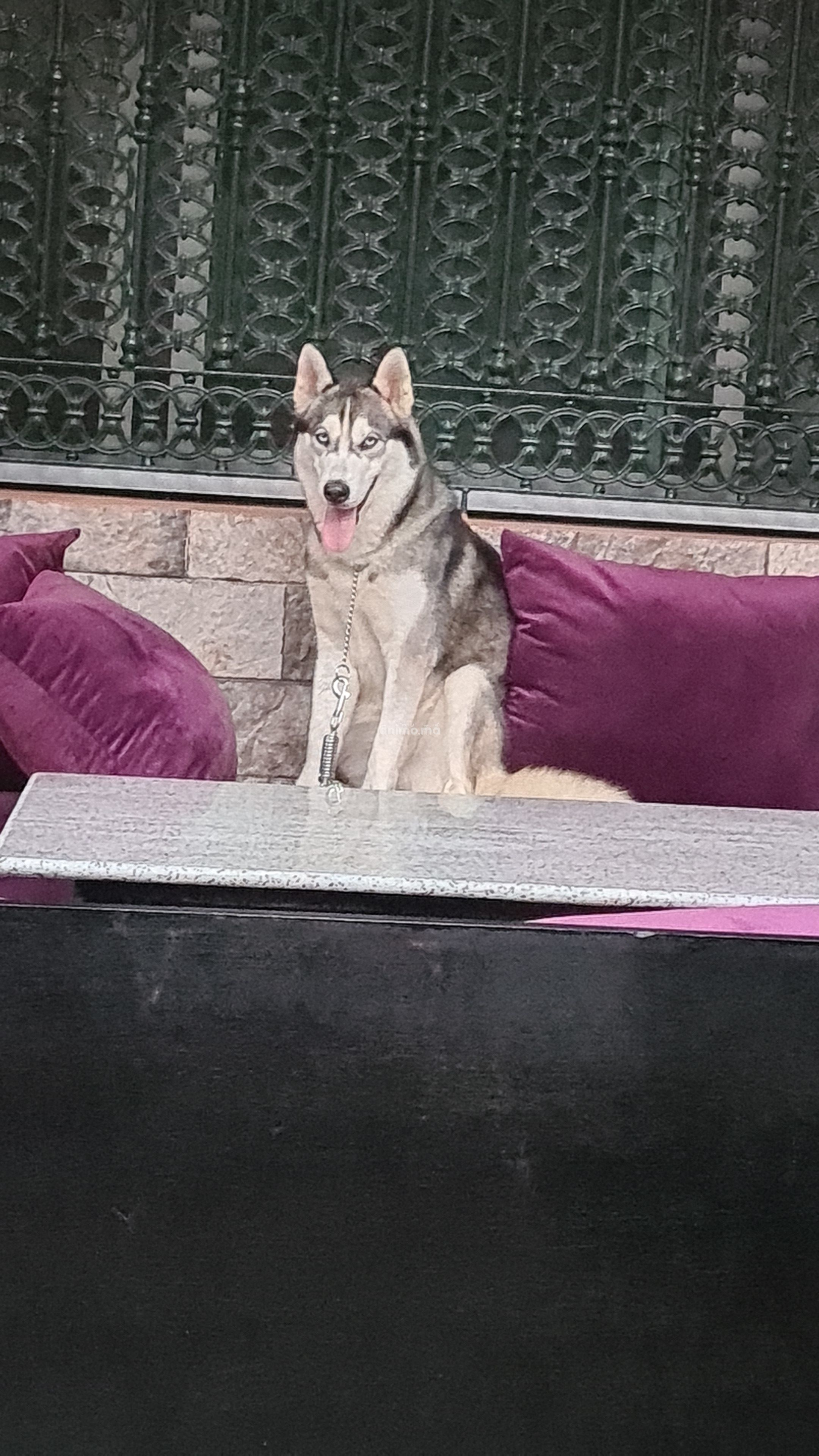 Animo - Husky sibérienne