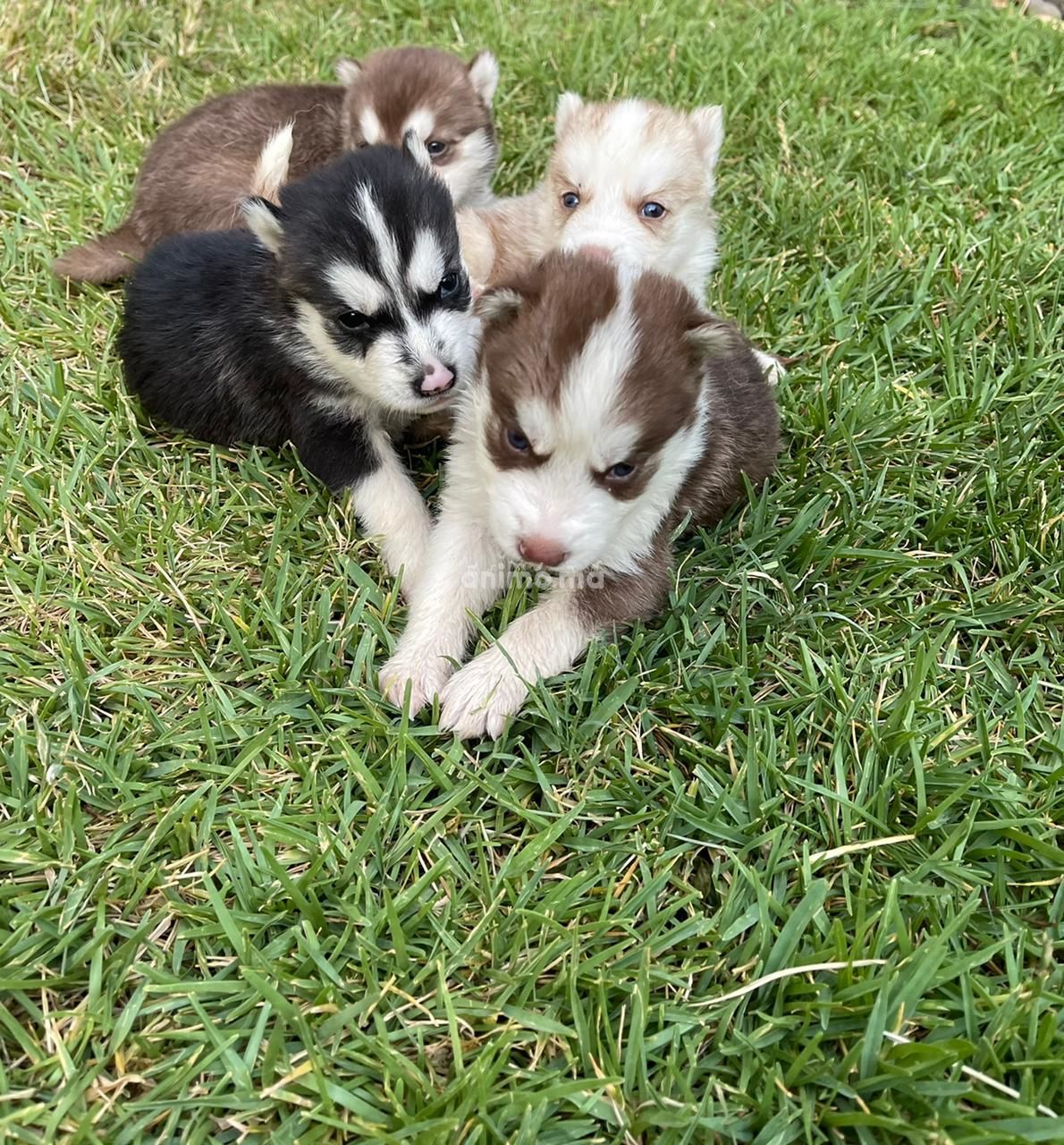 Animo - Chiots husky a vendre