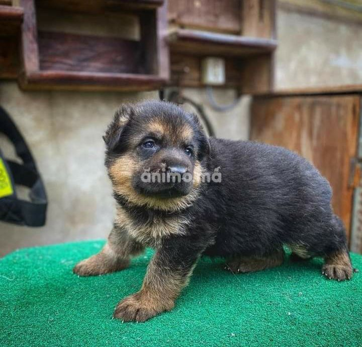 Animo - Chiot berger allemand poils longs