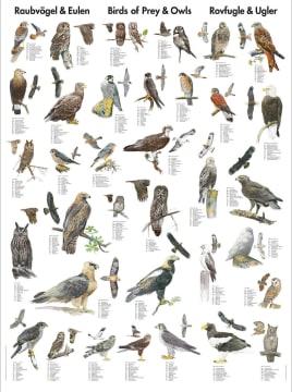 Naturplansje 70x100 cm, Rovfugler