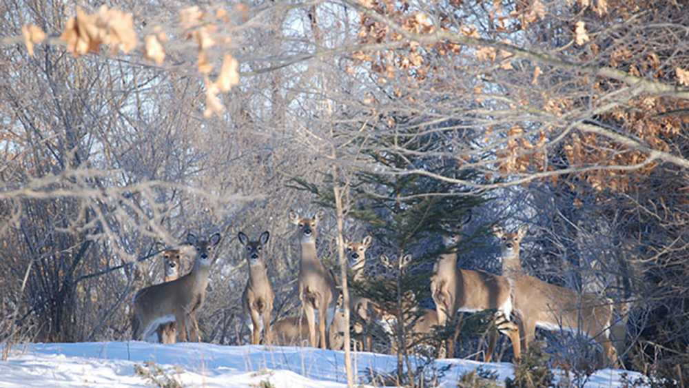 Deer posed for a picture in the snowy woods.