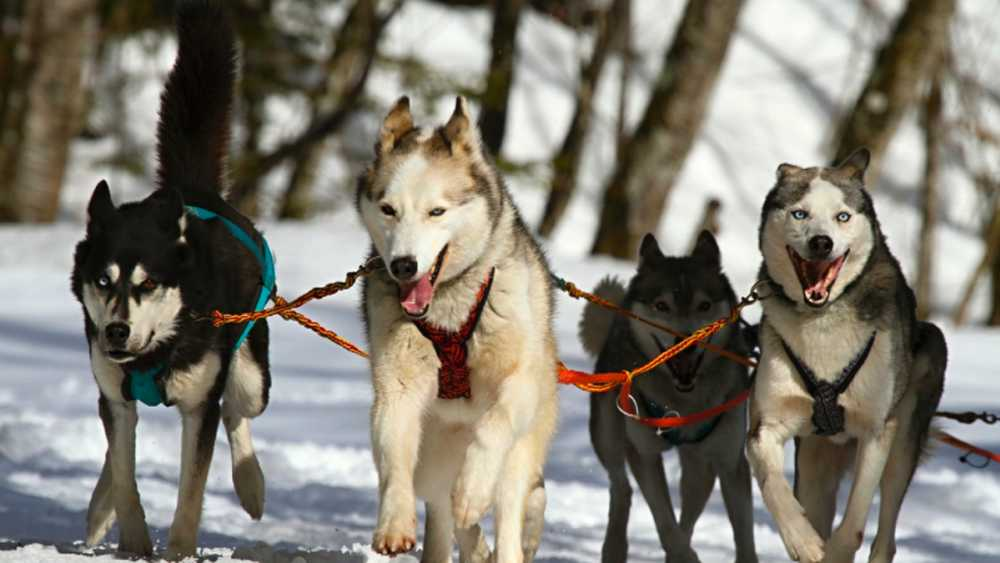 Sled dogs ready to run