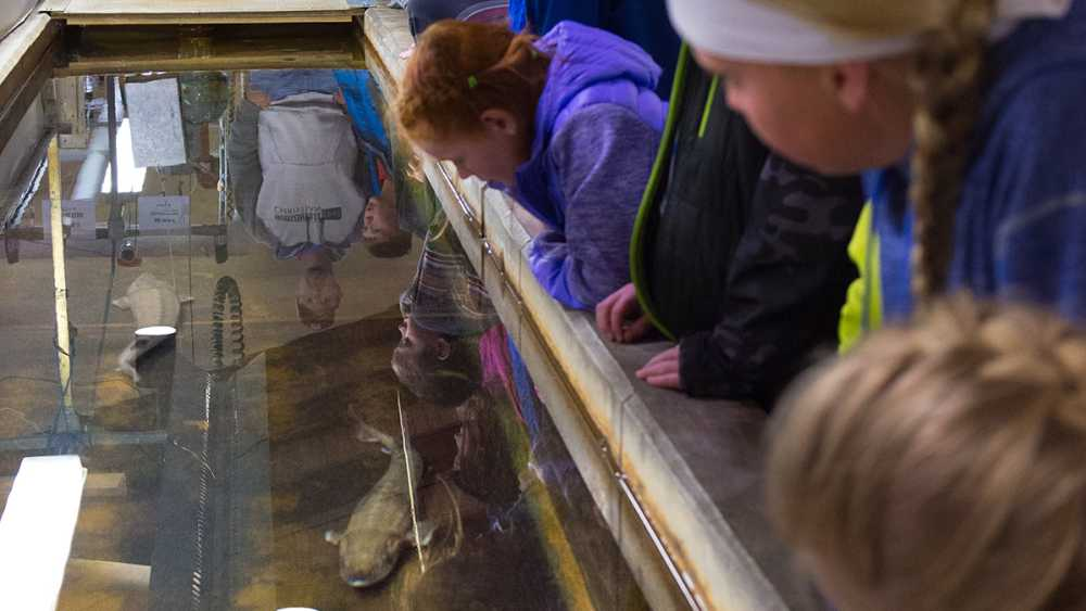 Sturgeon at  Wolf Lake State Fish Hatchery
