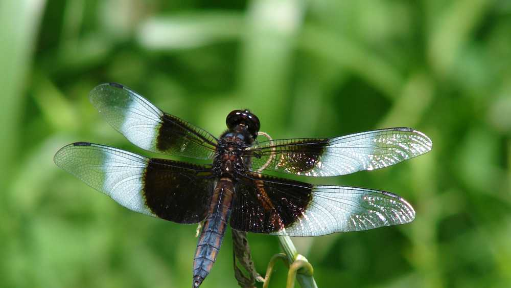 Widow Skimmer Dragonfly (Male).JPG