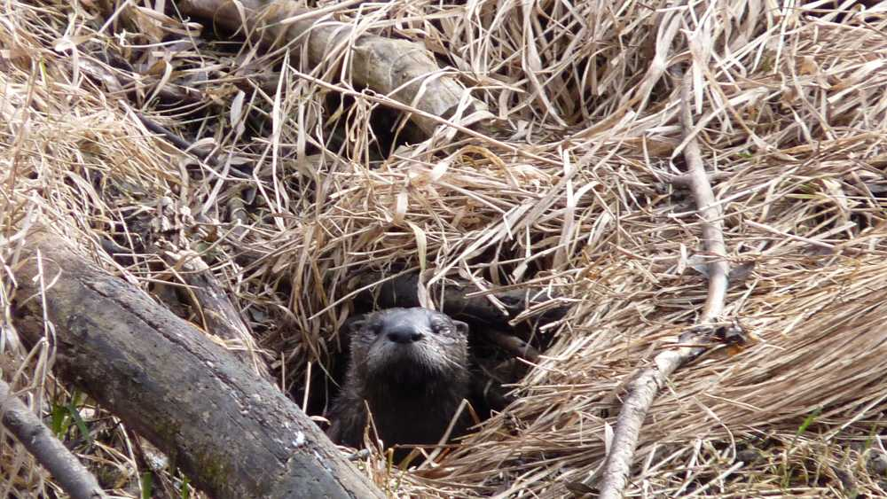 Otter Peeking Out (3).JPG