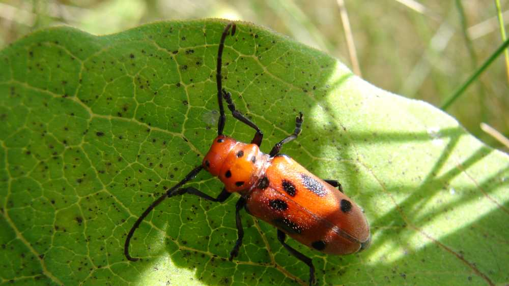 Red Milkweed Beetle by Kyle Bagnall, Chippewa Nature Center.JPG